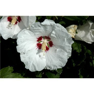 Hibiscus syriacus Red Heart (althéa)