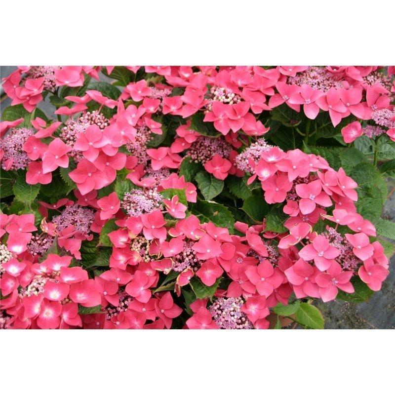 Hydrangea macrophylla Teller Rouge (Hortensia)