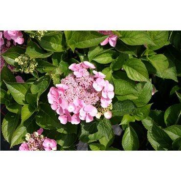 Hydrangea macrophylla Teller Rose ( rosa Tellerhortensie)