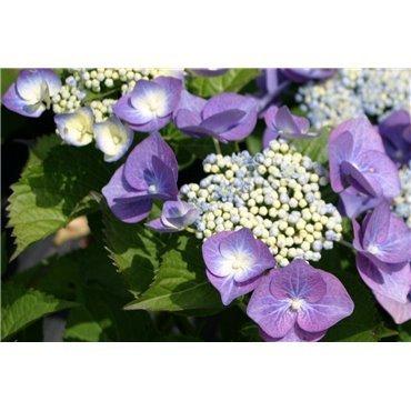 Hydrangea macrophylla Teller Bleu ( blaue Tellerhortensie)