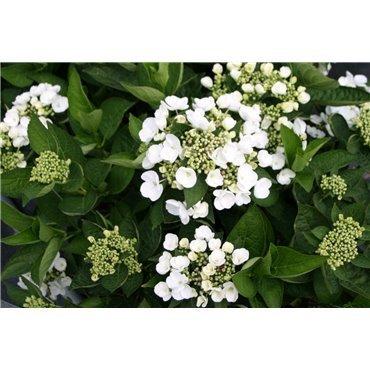 Hydrangea macrophylla Teller Blanc ( weisse Tellerhortensie)