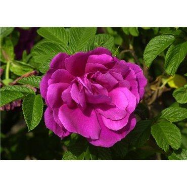 Rosier arbuste Rosa rugosa Hansa (R)