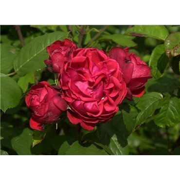 Rosier arbuste Shalom (R)