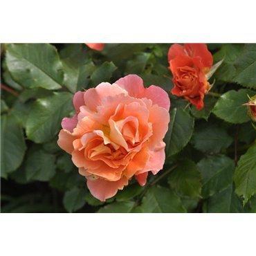 Rosier arbuste Westerland (R)