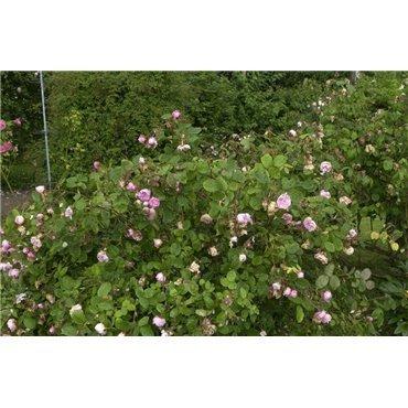 Rosier arbuste Rosa centifolia Muscosa (R)