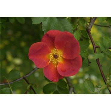 Rosier arbuste Rosa foetida Bicolor (R)