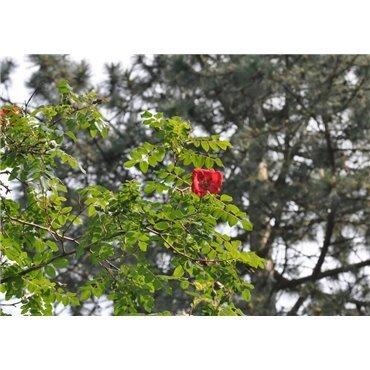 Rosier arbuste Rosa moyesii (R)