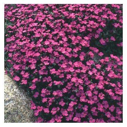 Aubrieta Red Carpet (aubriete)