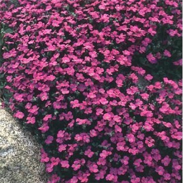 Aubrieta Red Carpet ( Blaukissen )