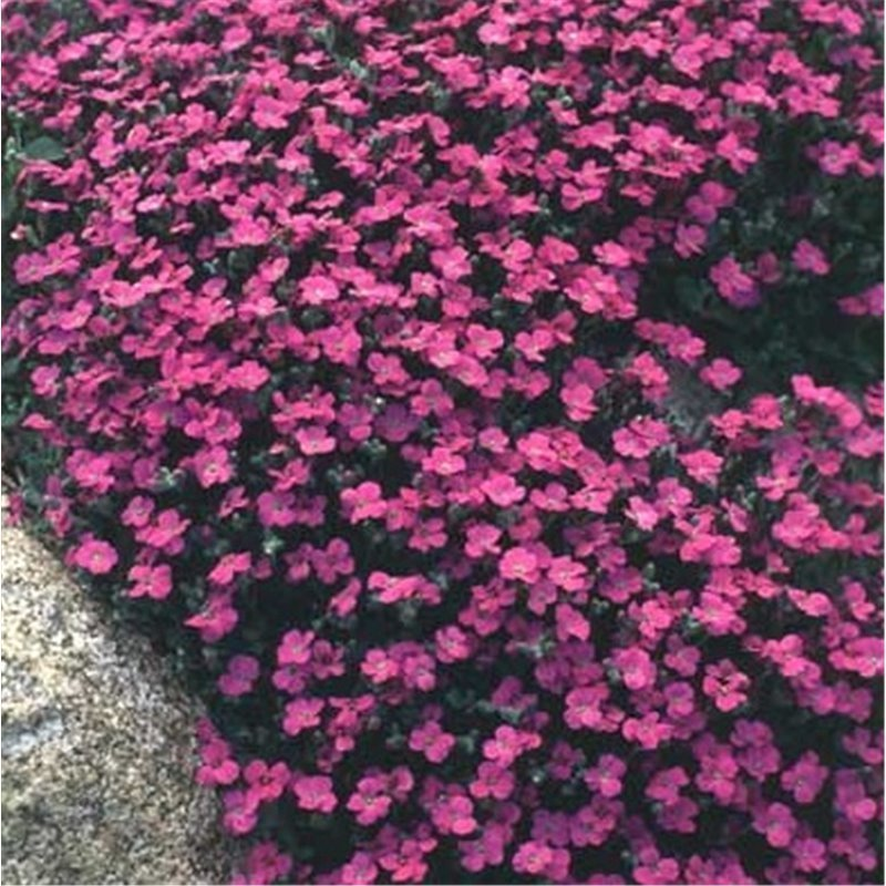 Aubrieta Red Carpet (aubriete)