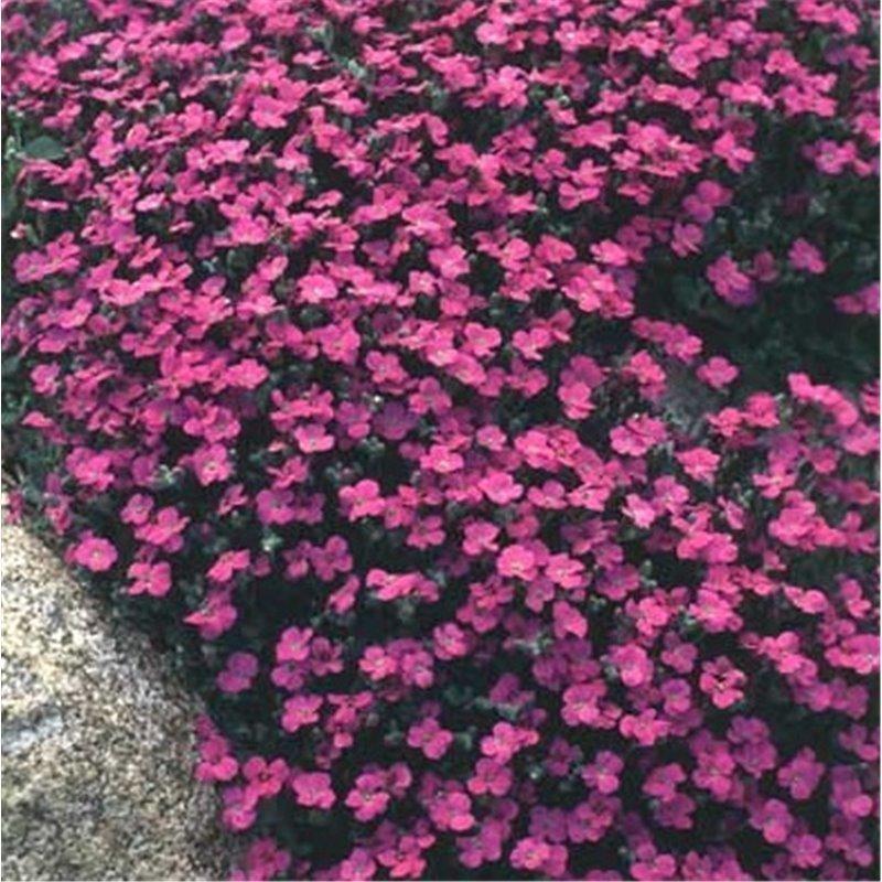 Aubrieta Red Carpet ( Blaukissen )
