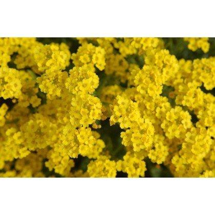 Alyssum saxatile Compactum (corbeille d'or)