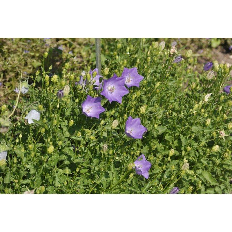 Campanula carpatica Blue Clips (campanule)