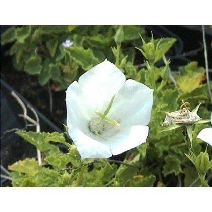 Campanula carpatica Weiss Clips (campanule)