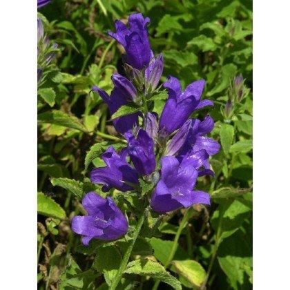 Campanula latifolia var. macrantha ( Waldglockenblume )