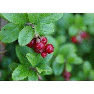 Vaccinium vitis-idaea ( Preiselbeere )