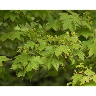 Acer cappadocicum Rubrum (Erable de Colchide)
