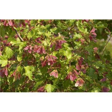 Acer tataricum ssp. ginnala ( Feuerahorn )