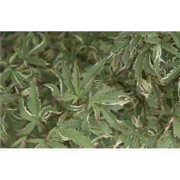 Acer palmatum Butterfly (érable japonnais)