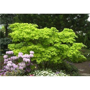 Acer shirasawanum Aureum (érable japonnais)