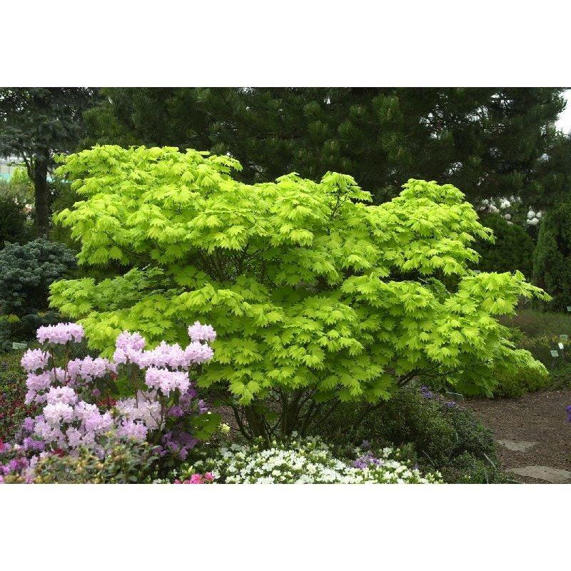 Acer Shirasawanum Aureum érable Japonnais Acheter Sur Plantesch