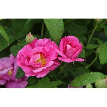 Rosier arbuste Rosa gallica (R)