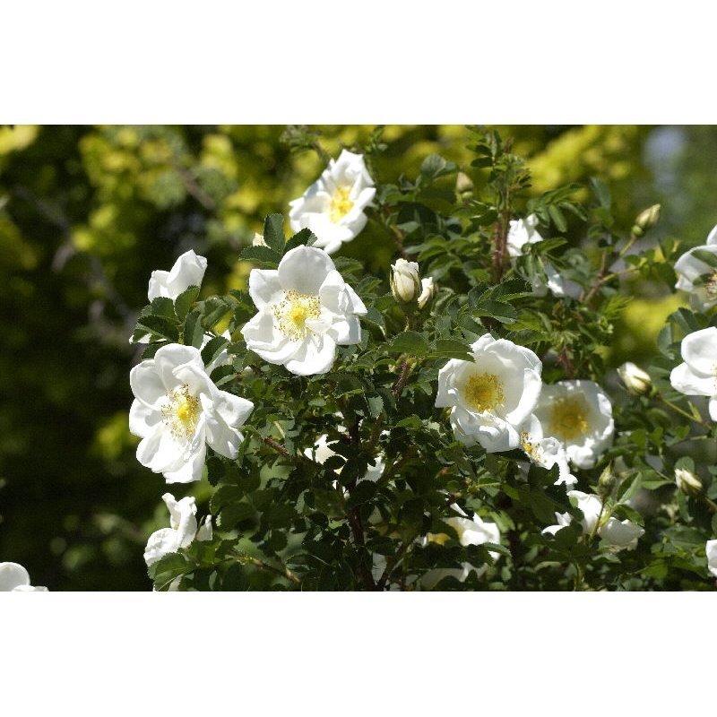 Rosier arbuste Rosa spinosissima (R) (églantier sauvage)