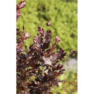Fagus sylvatica  Dawyck Purple ( Rotbuche )