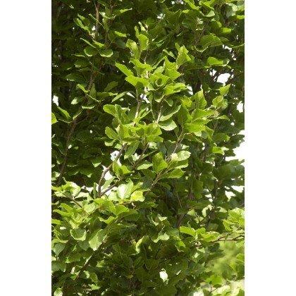 Fagus sylvatica Dawyck (foyard, hêtre)