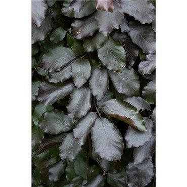 Fagus sylvatica Pendula Purple (foyard, hêtre)