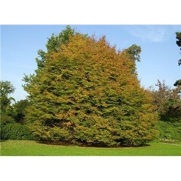 Fagus sylvatica Asplenifolia  ( Farnblättrige Rotbuche )