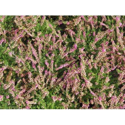 Calluna vulgaris Rose foncé (callune)