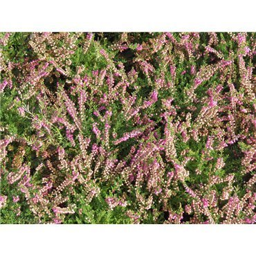 Calluna vulgaris Rose foncé  ( Besenheide, Heidekraut )