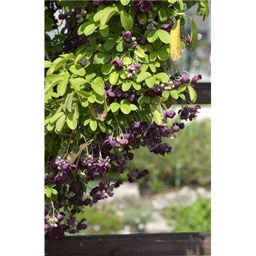 Akebia quinata ( Fingerblätterige Akebie, Klettergurke )
