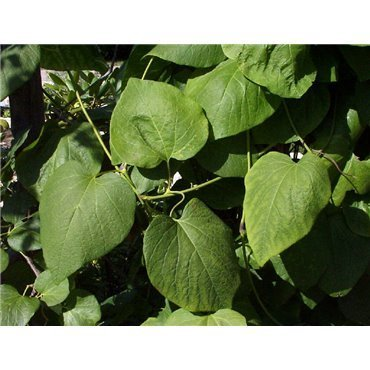 Aristolochia macrophylla ( Pfeifenwinde )