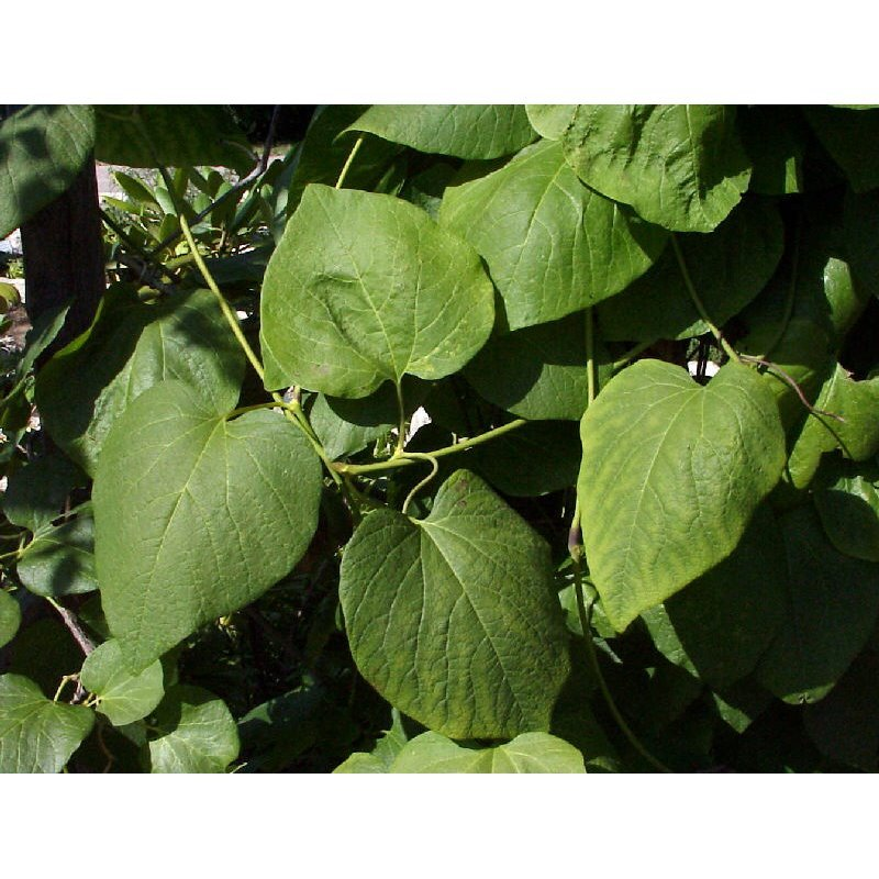 Aristolochia macrophylla (durior) Aristoloche