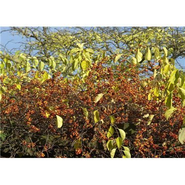 Celastrus orbiculatus Diana (bourreau des arbres)