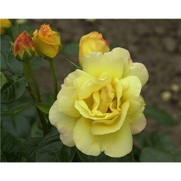 Rosier polyantha et floribunda Arthur Bell (R)