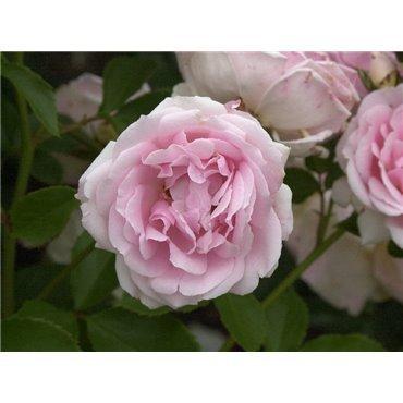 Rosier polyantha et floribunda Ballade (R)