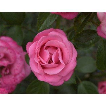 Rosier polyantha et floribunda Bella Rosa (R)