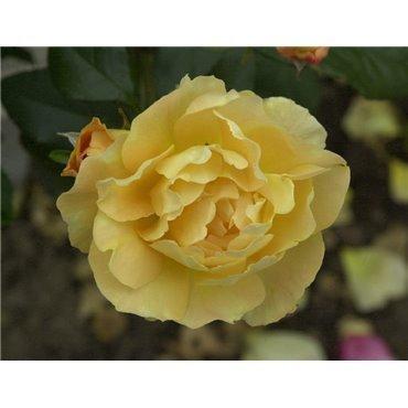 Rosier polyantha et floribunda Bernstein (R)