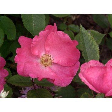 Rosier polyantha et floribunda Betty Prior (R)