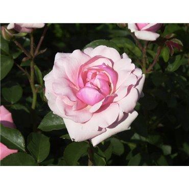 Rosier polyantha et floribunda Diadem (R)