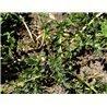 Carlina acaulis ssp. simplex (carline ) :  Abmessungen und Preise:in Topf 1.5 L