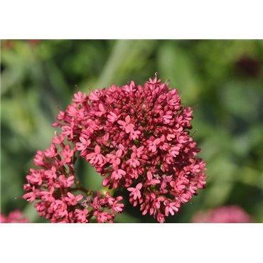 Centranthus ruber Coccineus ( Spornblume )