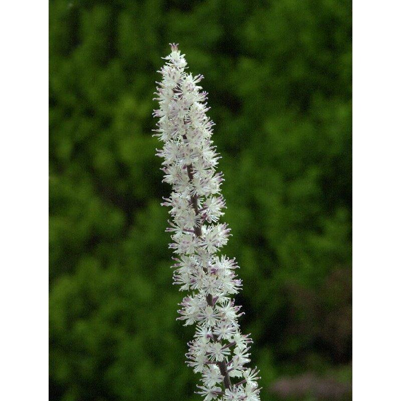 Cimifuga racemosa Atropurpurea ( Traubensilberkerze )