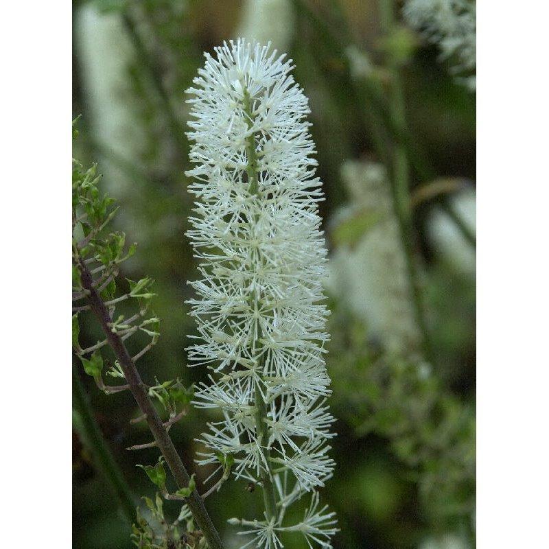Cimifuga simplex White Pearl ( Silberkerze )