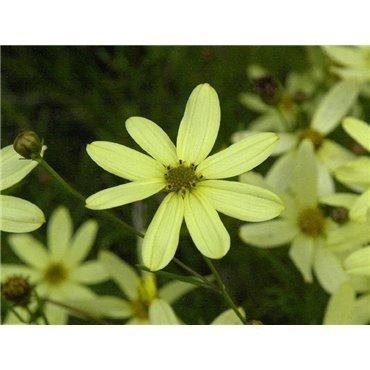 Coreopsis verticilata Moonbeam ( Mädchenauge )