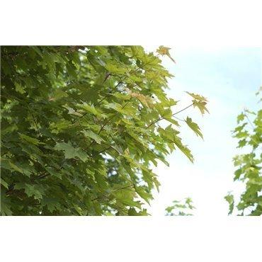 Acer platanoïdes sur tige (érable plane)