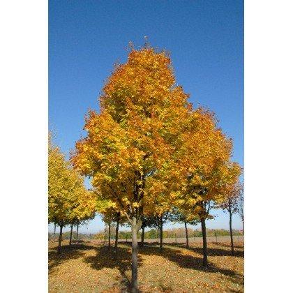 Acer platanoïdes Cleveland auf Stamm ( Spitz-Ahorn )